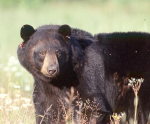 Thunder Bay has seen numerous incidents of black bears in the city