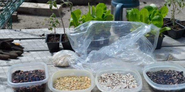 Seeds are soaking before Urban Greenscapes plants them at Rotary Shelter House