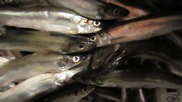 Record Smelts Run in Thunder Bay