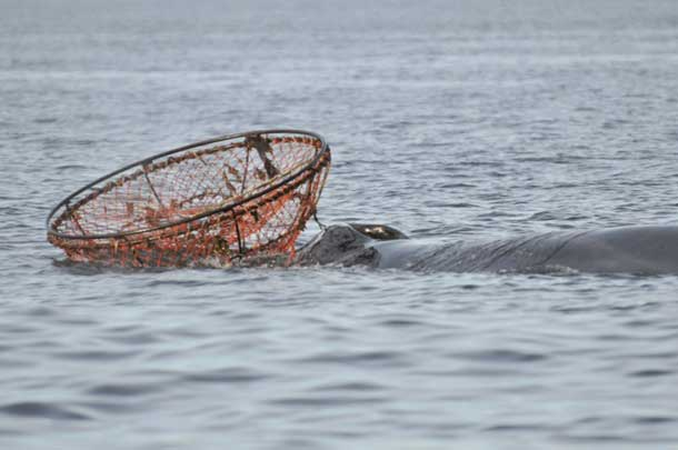 Entangled Whale (Photo credit: Parks Canada / L. Levesque)
