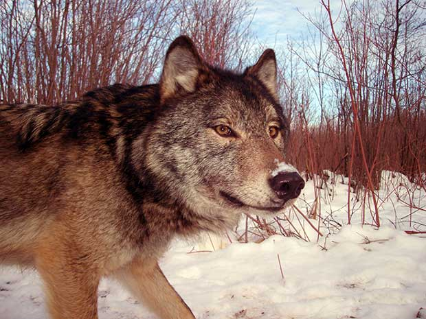 Wolf sighted near Lakehead University