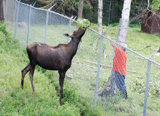 The moose at Chippewa Park is healthy but officials will have a large animal vet check it out to be sure