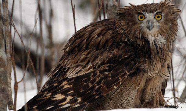 Giant Owls