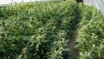 Justa Puff? Marijuana Debate Smolders On