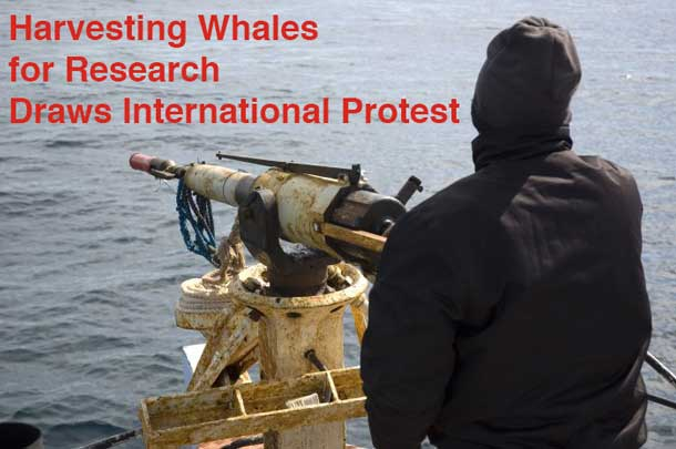 Whaling continues as Japan kills whales to 'study them'.