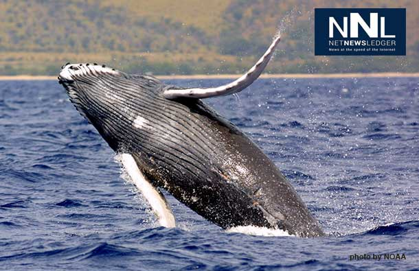 Humpback whale season is generally from November to May with the peak season occurring during the months of January and March.