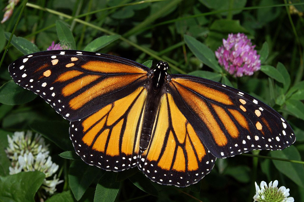 Monarch populations in Mexico plummeted to a record low of about 33.5 million this year from an annual average over the past 15 years of about 350 million and highs of more than one billion