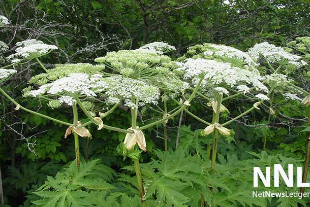 There are no confirmed cases of Giant Hogweed in Thunder Bay