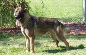 Danny, the RCMP K-9 German Shepard whose handler was killed in June in Moncton is returning to duty.