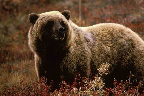Encounters between man and Grizzly Bears often are fatal