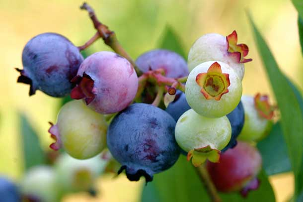 Blueberries are superstars with health advocates
