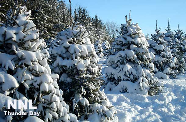 Looking for a natural Christmas tree? Call ahead as demand is high