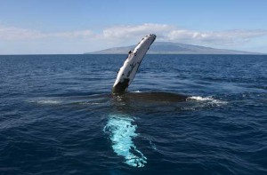 Whale Watching in Maui offers a look at these giants of the deep