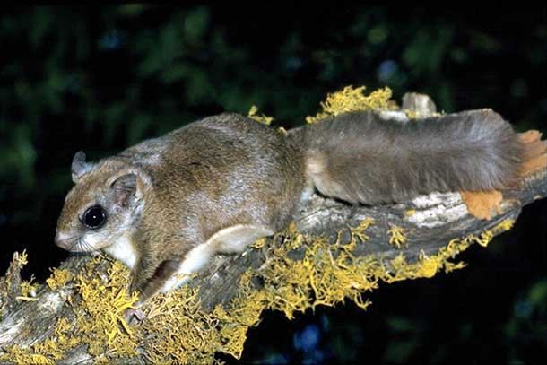 The amazing world of the flying squirrel