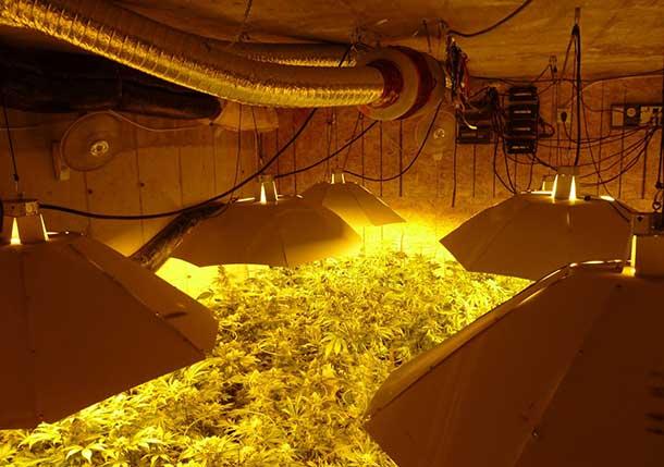 Thunder Bay Police Seize $460k in Marijuana grow op bust Image TBPS