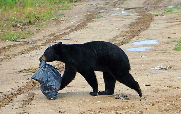 A black bear helps itself to a garbage bag at the local dump in Peawanuck. (Photo by Pam Chookomoolin)