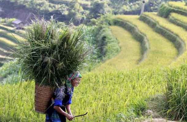 A Vietnamese woman of Hmong ethnic tribe carries a grass basket on a terraced rice paddy field during the harvest season in Mu Cang Chai, northwest of Hanoi October 3, 2015. REUTERS/Kham