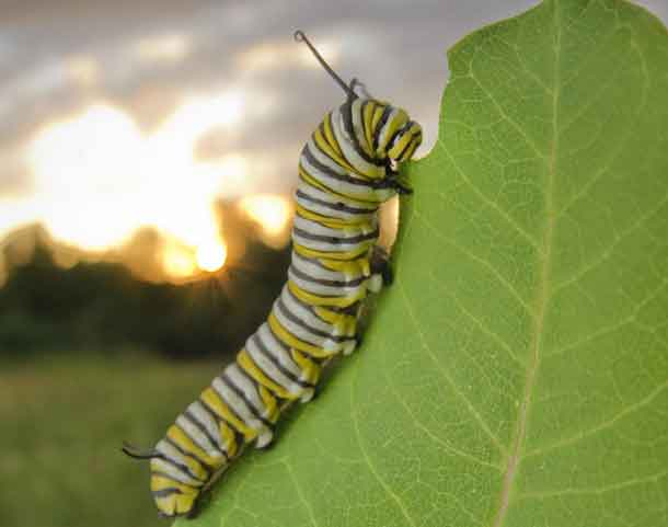 This is a monarch caterpillar on milkweed. CREDIT Ellen Woods