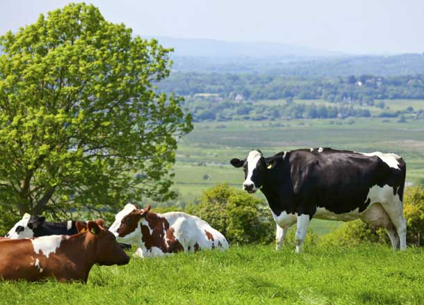 Cattle Dairy