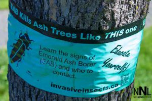 Invasive Emerald Ash Borer (EAB) has been detected in Thunder Bay