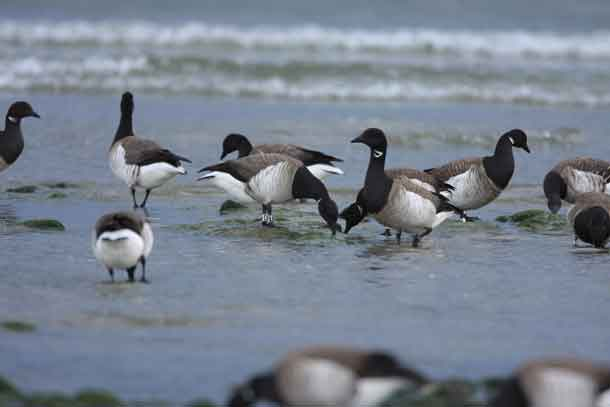 Light-bellied Brent geese are shown. CREDIT: Kendrew Colhoun