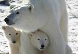 A Polar Bear mother and her two cubs are shown in Wapusk National Park, Canada. CREDIT: Environmental Toxicology and Chemistry