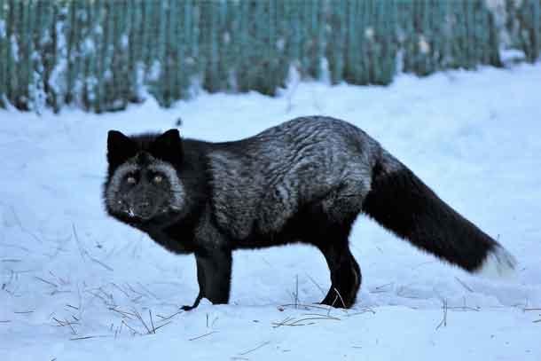 Black Fox at Chippewa Park Wildlife Exhibit
