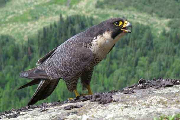Peregrine Falcon - Photo by Brian Ratcliff