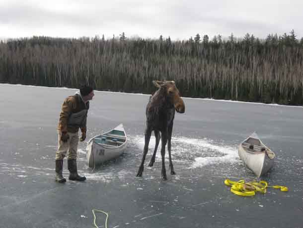 The moose whisperer Dave Seaton of Hungry Jack Outfitters – photo credit Jim Morrison.
