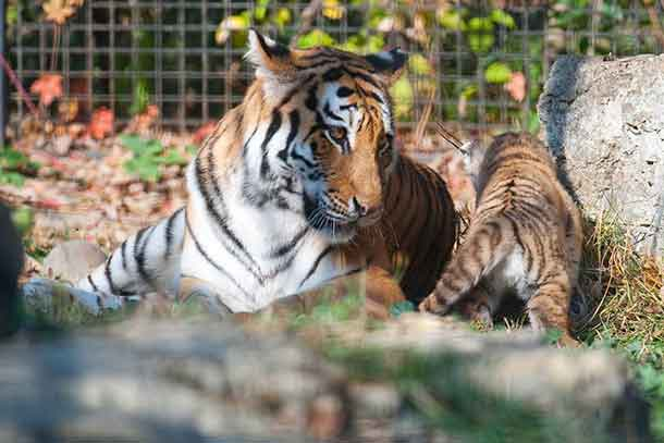 Kendra Amur Tiger