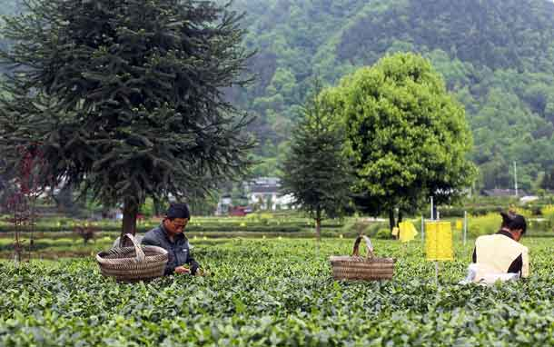 Farmers pick tea leaves in a tea plantation in Guizhou, China on April 29, 2017. Reuters Content Solutions/Lee Yaocheng