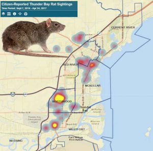 NetNewsLedger Norway Rats Present Major Problem for Thunder Bay