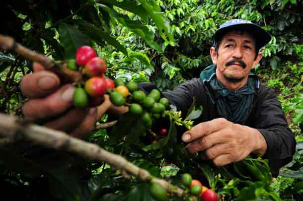 A coffee farmer picks fresh coffee cherries in Colombia. New climate research suggests Latin America faces major declines in coffee-growing regions, as well as bees, which help coffee to grow. CREDIT - Photo by Neil Palmer (CIAT).