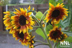 Even sunflowers need rain