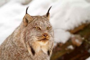 Canada lynx by Michael Zahra.