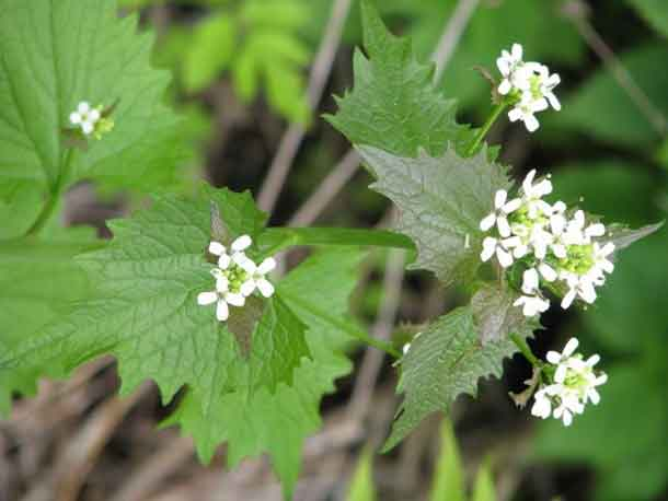 EcoSuperior is hosting a Garlic Mustard Pull to get rid of this invasive species