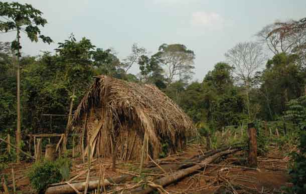 The 'Last of his Tribe's' house and garden where he grows manioc and other vegetables. Very little is known about this uncontacted Indian. He lives on his own in a patch of forest, surrounded by cattle ranches and soya plantations in the Brazilian state of Rondônia. © Survival