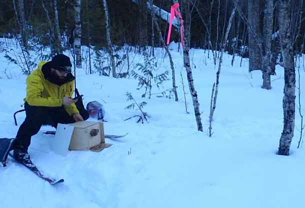 Phil Manlick releases a collared marten on the west end of Isle Royale in March 2018. CREDIT Jonathan Pauli