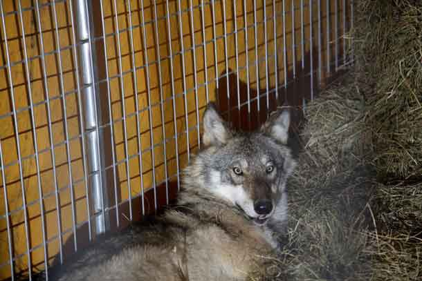 Credit: USFWS/Courtney Celley The male wolf in the holding facility before transport.