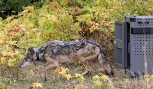 Photo by NPS - Jim Peaco. Wolf #3 leaving her crate on Oct.2.