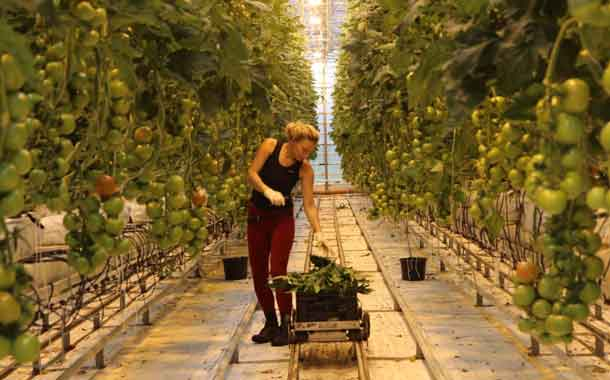 A worker prunes tomato plants in a greenhouse in Hveravellir, Iceland's oldest vegetable farm, 18km from the town of Husavík in northern Iceland, August 28, 2018. Thomson Reuters Foundation/Thin Lei Win