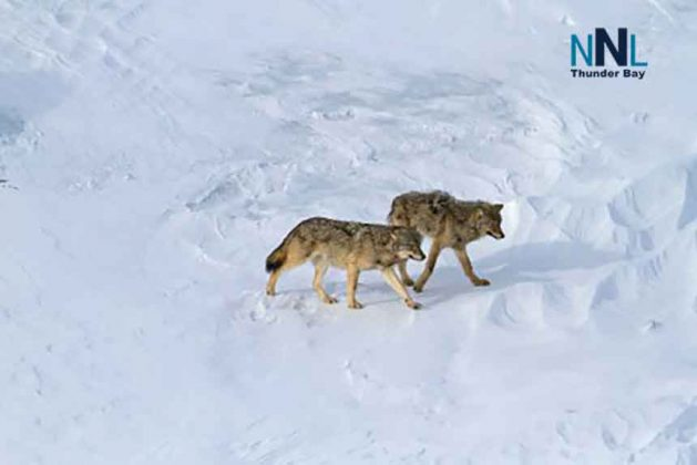 Wolves on the ice - Image National Park Service