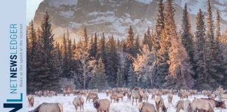 Elk in Banff National Park - Photo courtesy of Sunshine Village Ski Resort