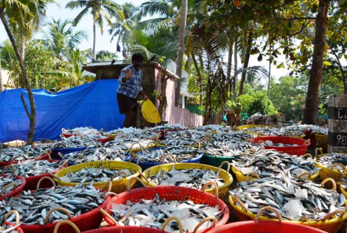 A fish trader stands in front of baskets of oil sardines, the sign of a good catch, at Chellanam Fishing Harbour, in Chellanam, India, January 17, 2019. Thomson Reuters Foundation/Colin Daileda