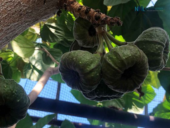 Figs growing at the Centennial Conservatory