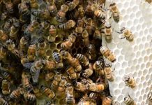 The self-grooming behavior of wild honey bees like these can be affected by pesticides. CREDIT: University of Guelph