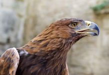 Portrait of a Golden Eagle - - Aquila chrysaetos