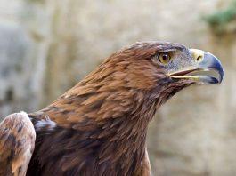 Portrait of a Golden Eagle - - Aquila chrysaetos