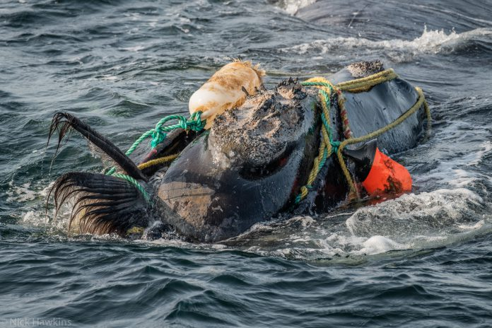 North Atlantic right whale entangled in fishing gear -- Copyright: Nick Hawkins.