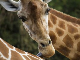28 Amazing Facts You Never Knew About Giraffes
